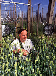 ARS plant physiologist James Bunce studies water use by barley grown in a greenhouse with elevated atmospheric carbon dioxide.