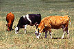Cows graziing