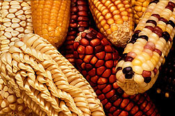 Close up of corn of several contrasting types.