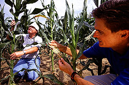 Photo: Researchers compare fungi-resistant and non-fungi resistant corn. Link to photo information