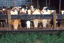 Photo: Cattle. Link to photo information