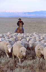 Photo: Herding sheep to research sites at the U.S. Sheep Experiment Station near Dubois, Idaho. Link to photo information