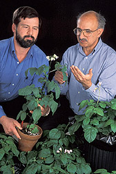 Photo: Geneticist John Bamberg (left) and physiologist Jiwan Palta examine the wild potato species S. microdontum, which has genes for high tuber calcium. Link to photo information