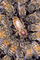 Closeup of Africanized honey bees surrounding a European queen honey bee marked with a pink dot for identification. Link to photo information