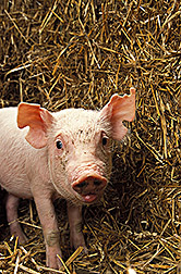 Piglet: Link to photo information