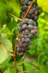 Table grapes: Click here for full photo caption.