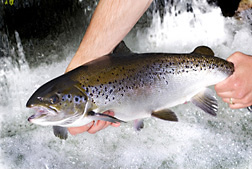 Photo: An Atlantic salmon being held above running water. Link to photo information