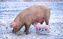 Photo: A sow stands in a field as a piglet nurses. Link to photo information