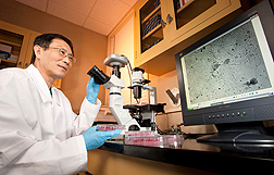 Microbiologist Qingzhong Yu examining recombinant Newcastle disease virus vaccine candidates in infected cells. Link to photo information