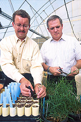 Photo: Geneticists Gary Pederson (left) and Dennis Rowe plant Bermuda grass sprigs. Link to photo information