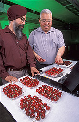 Chemist Darshan Kelley (left) and Adel Kader, professor at the University of California, Davis, examine and weigh cherries.
