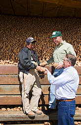 A farmer and two ARS soil scientists evaluate fresh-harvested potatoes in a farm storage bin. Link to photo information