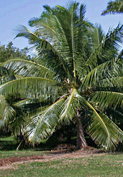 Photo: Fiji Dwarf coconut palm. Link to photo information