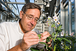 Photo: ARS botanist David Spooner examines a potato plant. Link to photo information