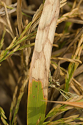 Photo: A rice leaf exhibiting typical watermark lesions associated with sheath blight disease. Link to photo information