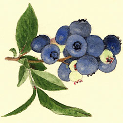 Photo: Botanical illustration of the highbush blueberry Brooks. Link to photo information