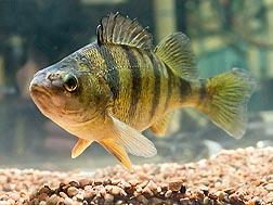 Photo: Yellow perch. Link to photo information