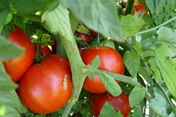 Photo: Ripe tomatoes on the vine. Link to photo information