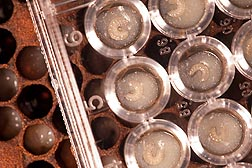 Photo: Honey bee larvae in artificial cells on the right; capped artificial cells on the left where larvae become pupae. Link to photo information