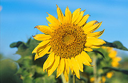 Sunflower: Link to photo information