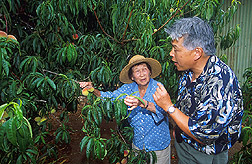 Photo: Grower Betsy Sakada shows ARS entomologist Eric Jang fruit fly damage on her peach trees. Link to photo information