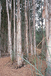 Melaleuca trees: Link to photo information