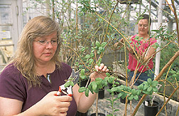 Photo: Geneticist Lisa Rowland (front) and horticulturist Elizabeth Ogden collect blueberry plant leaf tissue for DNA analysis. Link to photo information