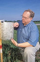 Philip Scholl examines an Alsynite sticky trap used to monitor adult stable fly populations. Click the image for additional information about it.