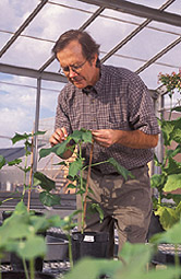 Photo: Plant physiologist inspects a cotton plant that will be used in a heat-stress experiment. Link to photo information