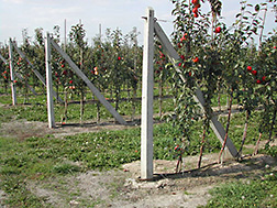 Rows of test apple trees. Link to photo information