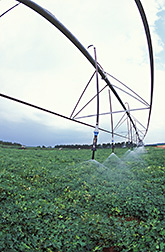 Peanuts being irrigated by overhead sprinklers. Link to photo information