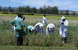 Researchers evaluating wheat plants for disease resistance. Link to photo information