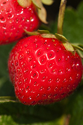 Photo: Closeup of strawberries on a vine. Link to photo information