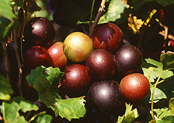 Muscadine grapes ripening on the vine. Link to photo information