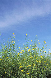 Photo: A cover crop of mustard. Link to photo information