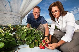 Photo: Geneticist Kim Lewers and horticulturalist John Enns reaching inside a low tunnel to examine strawberries. Link to photo information
