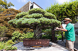 Photo: Curator Jack Sustic watering a Japanese White Pine in training since 1625. Link to photo information