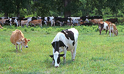 Holstein and Jersey crossbreeds graze on Cove Mountain Farm in south-central Pennsylvania.