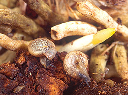 Photo: Despite their small size, these 1/4-inch-wide snails (called Zonitoides arboreus) are capable of destroying the thick corky roots of the orchid plant. Link to photo information