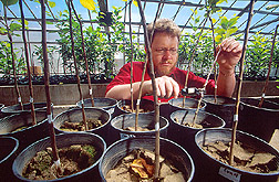 Mark Mazzola measures trunk diameter of test trees in a greenhouse: Link to photo information