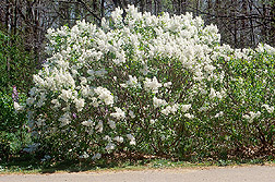Betsy Ross lilac, a recent arboretum release: Link to story