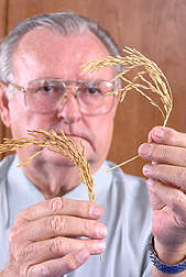 Photo: Geneticist compares golden-hulled low-phytate rice (left) with rice that lacks the color-coding gene.