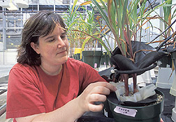 Photo: Technician Kristine Nichols checks the progress of corn plants growing in containers specially designed for glomalin production. Link to photo information