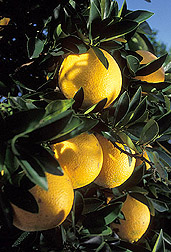 Photo: Oranges growing on a tree. Link to photo information