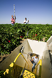 In a pepper field, Ron Seligman collects data underground inside a lysimeter while Nedal Katbeh-Bader and Naem Mazahrih place equipment on the field surface. Link to photo information