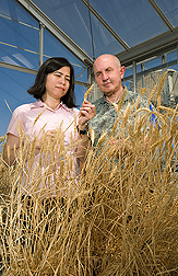 In a greenhouse, Debbie Laudencua-Chingcuanco and Olin Anderson examine wheat plants. Link to photo information