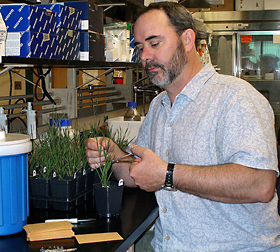 Photo: ARS plant geneticist David Garvin examining Brachypodium distachyon. Link to photo information