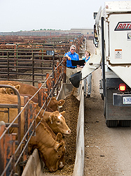 Photo: Two researchers evaluate cattle in a feedlot. Link to photo information
