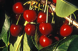 Closeup of cherries growing on a branch.