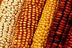 Photo: Colorful varieties of corn.